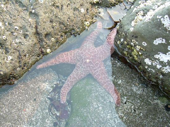 Brookings, OR: pretty star fish in the tide pools