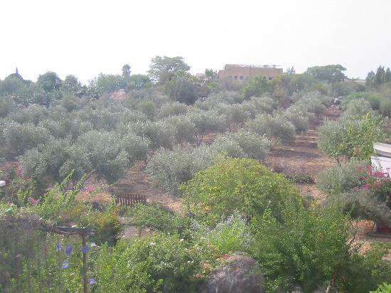 The Frenkels Bed and Breakfast: Olive grove at the Frenkel&#39;s