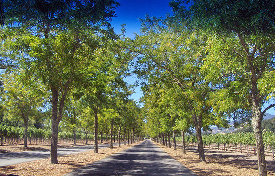 Calistoga, Californie : Drive to the road from the vineyard