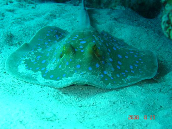 Blue spotted ray chilling out in the red sea