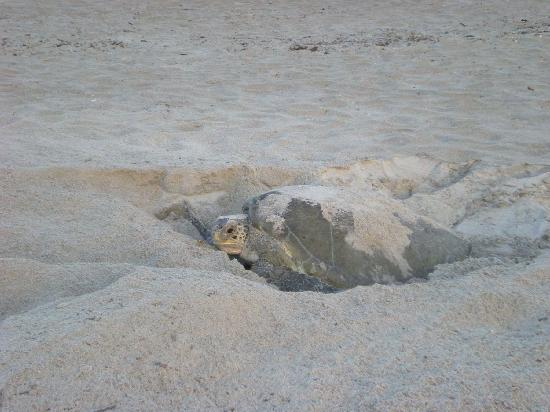 Sea Turtle Laying Eggs Pictures Turtle Laying Her Eggs