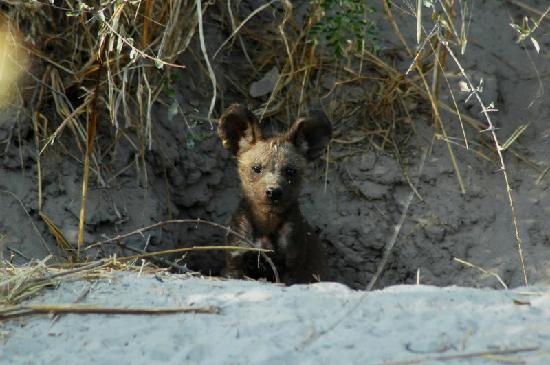 African Hunting Dog Puppies For Sale