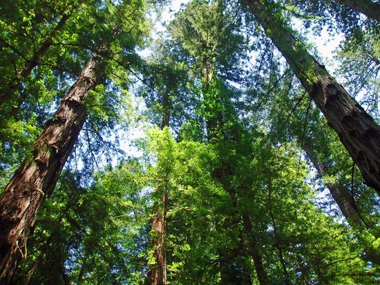 Guerneville, Калифорния: Filling our view towards the sky.