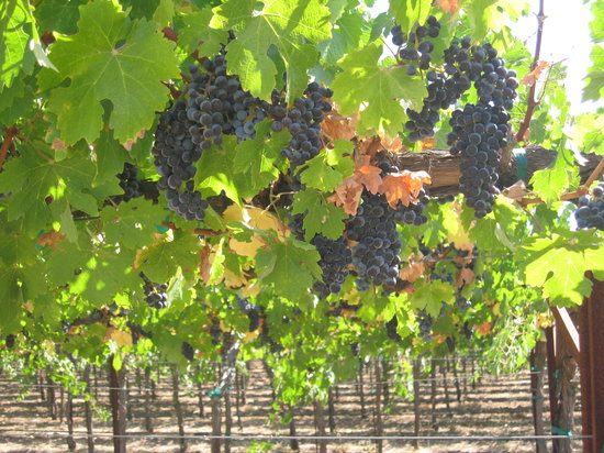 Sonoma, Kalifornien: Beautiful Grape Vines