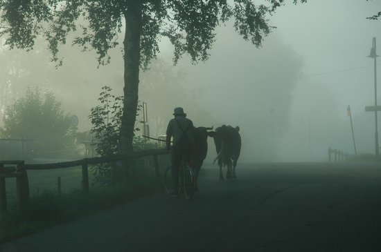 Romantic Road, Germany: foggy morning man with cows