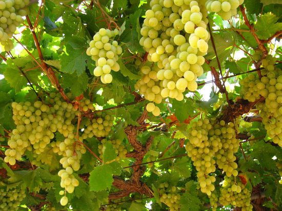 , : White Grapes Vineyard - Amman