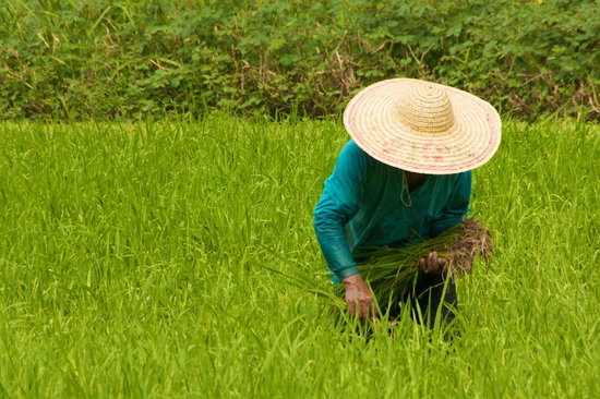 , : working in the rice field langkawi