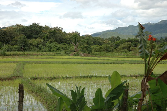 Mae Hong Son, Thailand: Rice field view