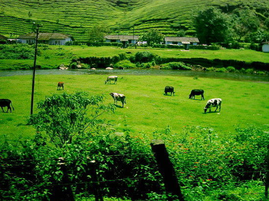 Cattles eating grass in munnar
