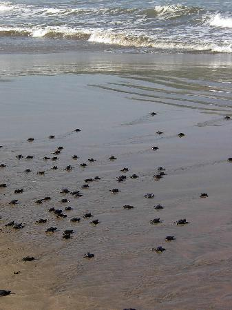 Sinaloa, Mexico: Baby Turtles