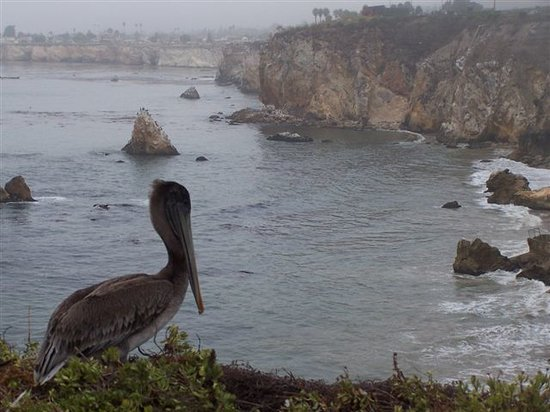 Pismo Beach, CA: Pellicani sull&#39;oceano