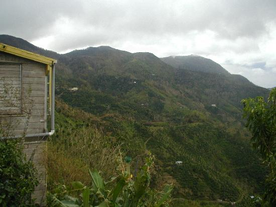 Blue Mountains National Park, Jamaica: View of some of the coffee fields from the Estate