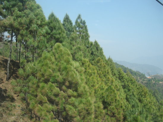 Nepal: pine trees
