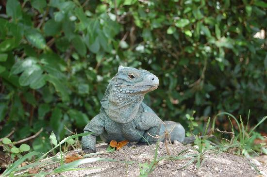 Cayman Islands: a blue iguana