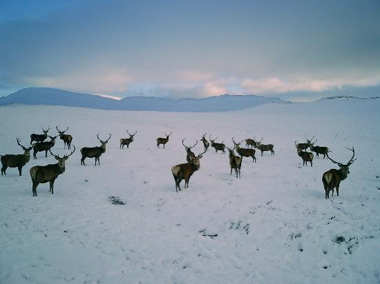 Pitlochry, UK: Rannoch Moor stags