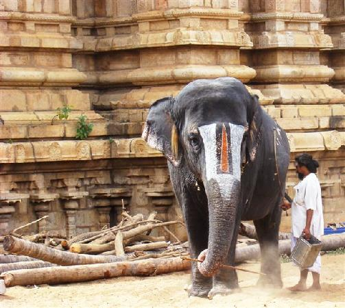 Tiruchirappalli, India: Temple Elephant
