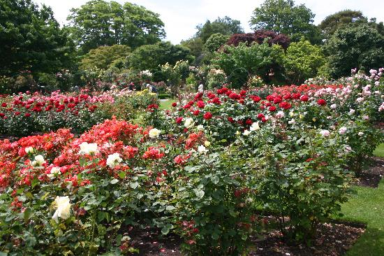 Rose garden at mona vale picture of mona vale for Landscape gardeners christchurch