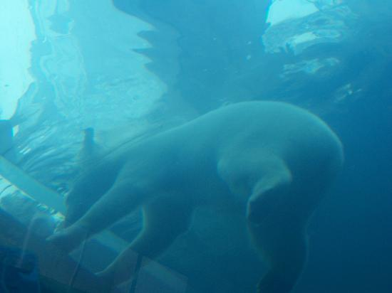 Polar Bear From Underwater Viewing Area Picture Of