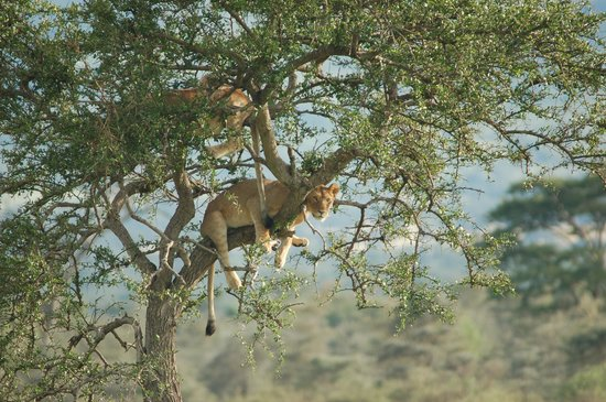 Tree-Climbing Lions in Serengeti National Park