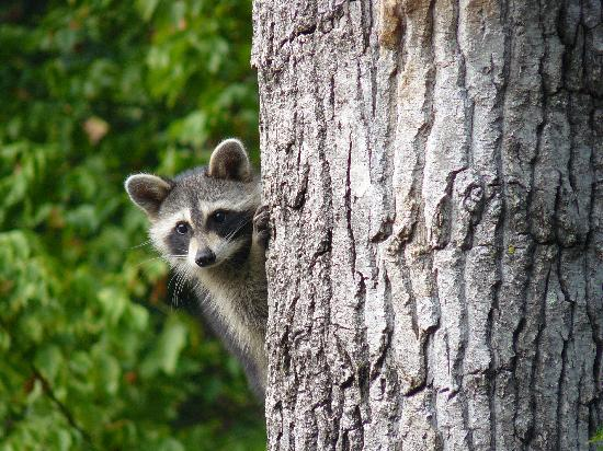 Jackson, TN : Young Racoon 