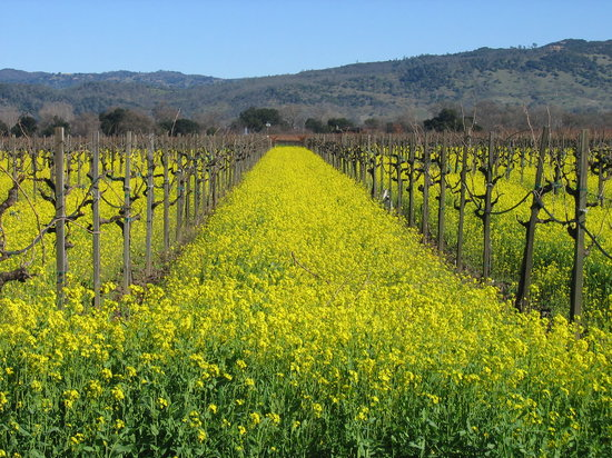 Napa, Kalifornia: Mustard Blooming in January