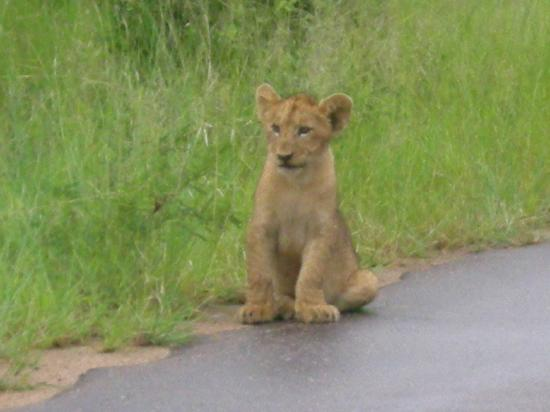 Jock Safari Lodge: Gorgeous lion cub !