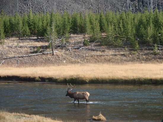 West Yellowstone, MT: male elk/Madison River/Yellowstone