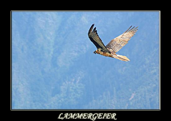 Auli, India: Flying Lammergeier