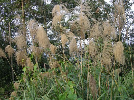 Tall silver grass sun moon lake nantou county picture for Tall ornamental grasses for sun