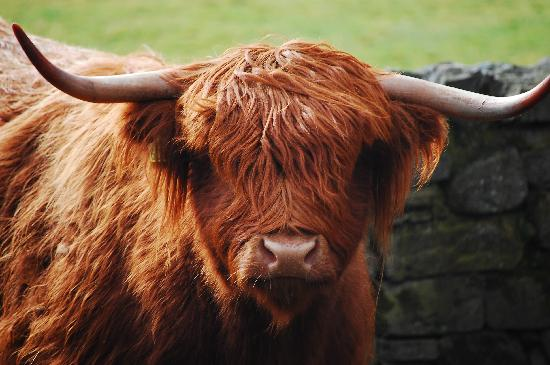 Scottish Highlands, UK: [Heeland Coo]