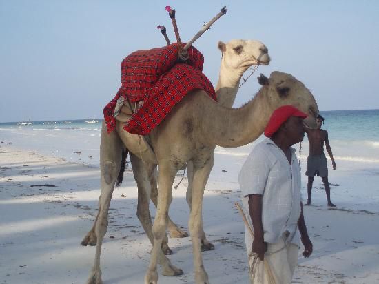 Camels on the Diani beach