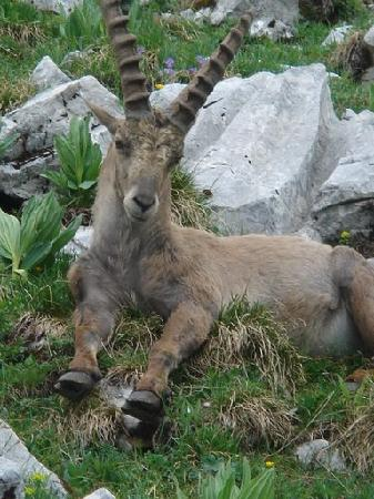 Le Grand-Bornand, France: mountain animals summer