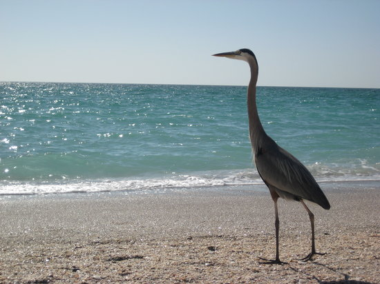Englewood, FL: A f riendly Sandhill Crane hangs around