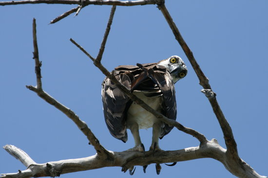 Marco Island, FL: Indignant osprey