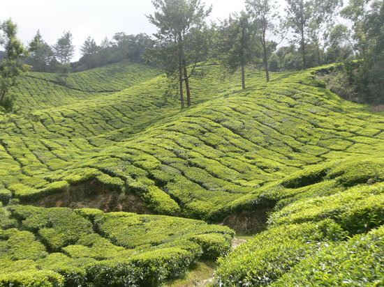 Munnar, Inde : tea 