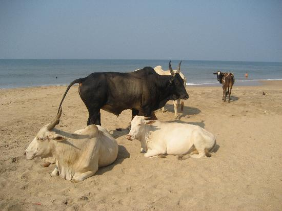 Villa Anjuna: la plage et ses vaches !