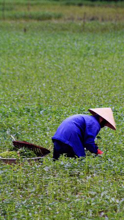 Hoi An, Vietnam: Field worker