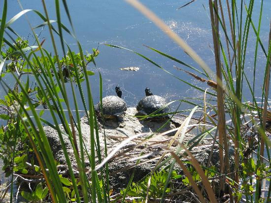 Big Pine Key, FL: Land Turtles at Blue Hole