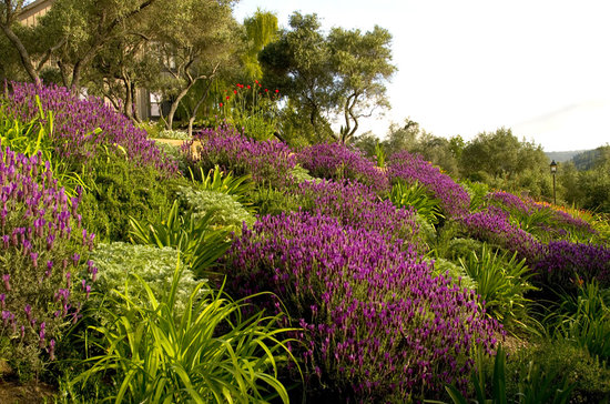 Napa Valley, Californie : Lavendar 