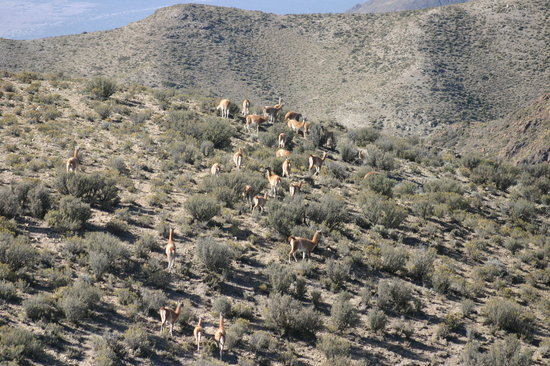 Mendoza, Argentinien: Guanacos no caminho para as Minas de Paramillos