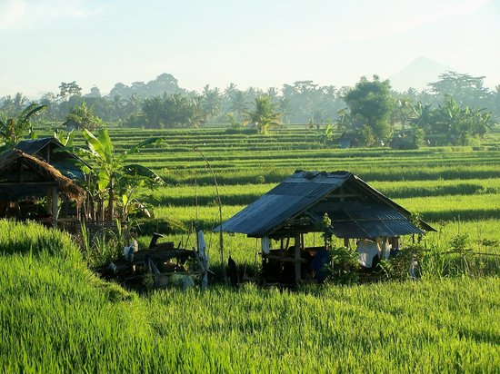 , : animal shelters amongst rice fields