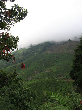 Cameron Highlands, Malasia: tea plantation