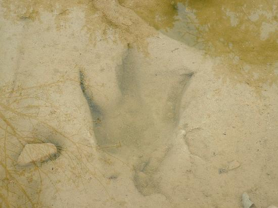 Dinosaur track in the Paluxi river Glen Rose Texas