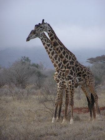 Mombasa, Kenia: in the masi Mara