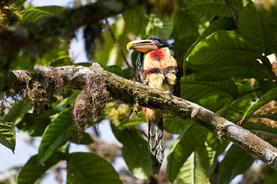Sachatamia Lodge: Toucan
