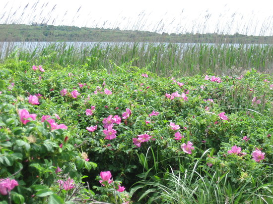 Block Island, RI: Rosa Rugosas