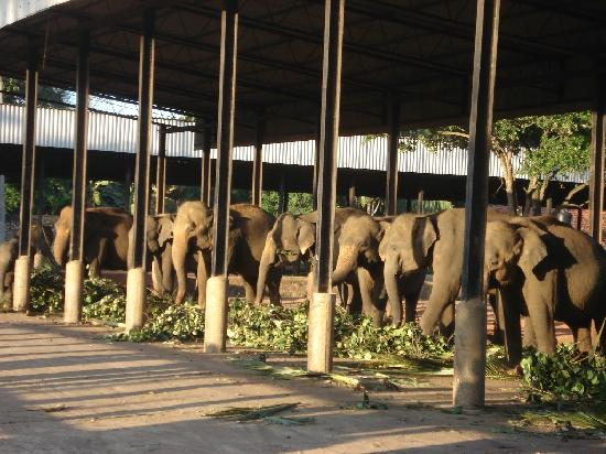 lots of wild elephants