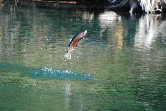 Grizzly Bear Ranch: Jumping trout