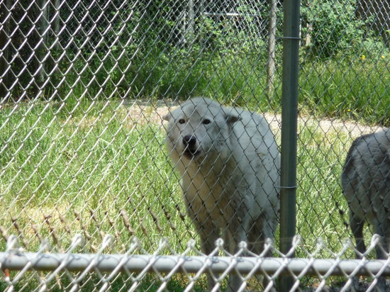 Tenino, WA: An unhappy newly arrived wolf