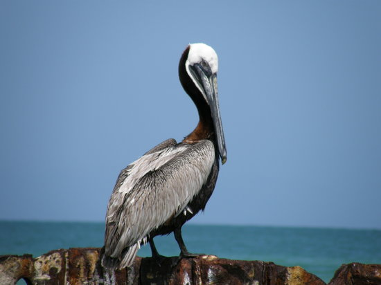 Saint Pete Beach, FL: Peter the Pelican